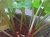 10-delicious-rhubarb-just-ready-to-eat