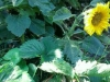 12-spectacular-sunflowers-mr-ring